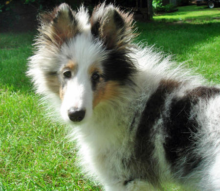 Bella the Shetland Sheepdog Pictures 762572
