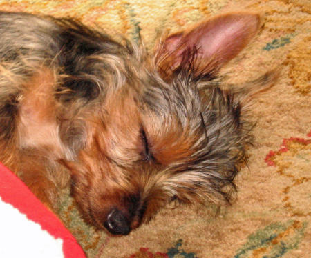 Bella the Silky Terrier  Pictures 1030195