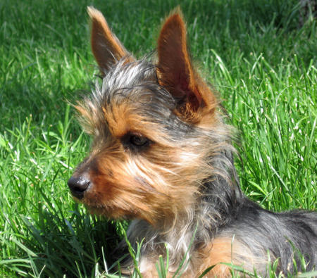 Bella the Silky Terrier  Pictures 1030196
