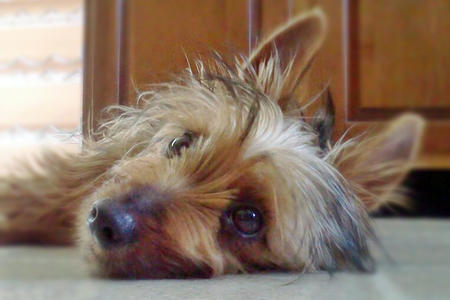 Bella the Silky Terrier  Pictures 1030197