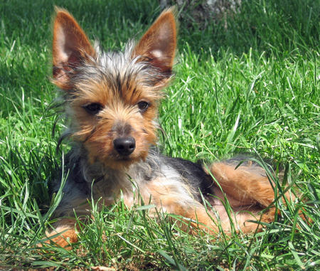 Bella the Silky Terrier  Pictures 1030198