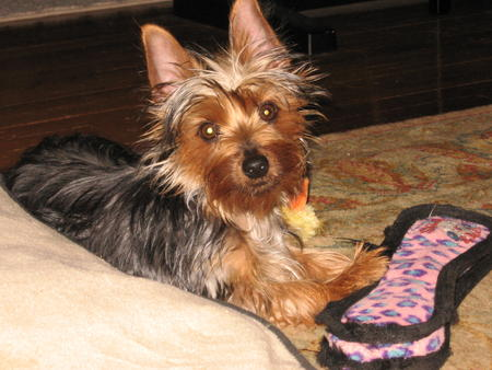 Bella the Silky Terrier  Pictures 1030201