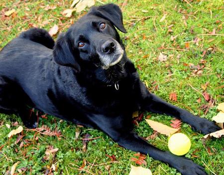Belle the Labrador Retriever Pictures 854360