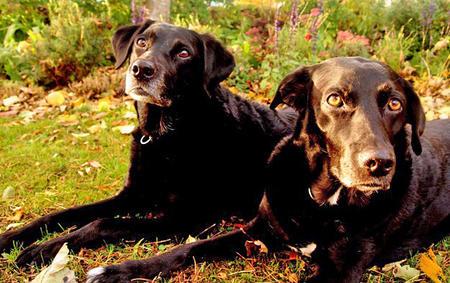 Belle the Labrador Retriever Pictures 854362