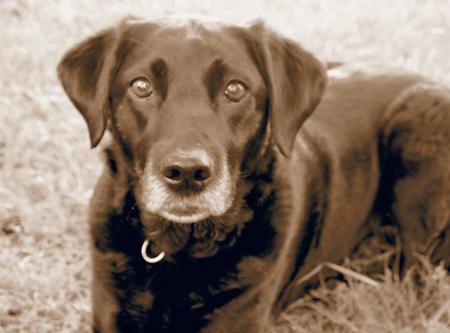 Belle the Labrador Retriever Pictures 854363