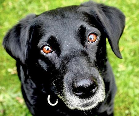 Belle the Labrador Retriever Pictures 854358