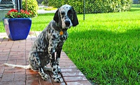 Ben the English Setter Pictures 976307