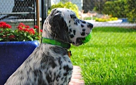 Ben the English Setter Pictures 976308