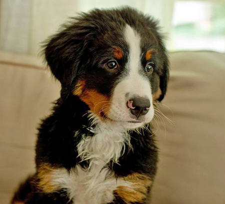 Benedict the Bernese Mountain Dog Pictures 1046062