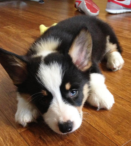 Benedict the Pembroke Welsh Corgi Pictures 969300