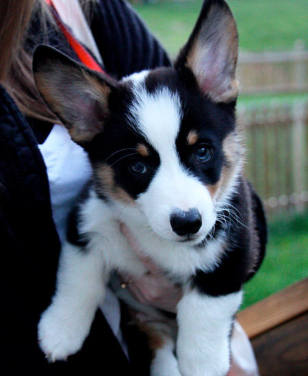 Benedict the Pembroke Welsh Corgi Pictures 969303