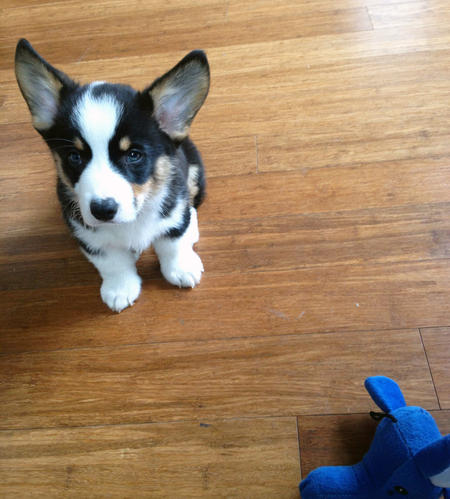 Benedict the Pembroke Welsh Corgi Pictures 969306