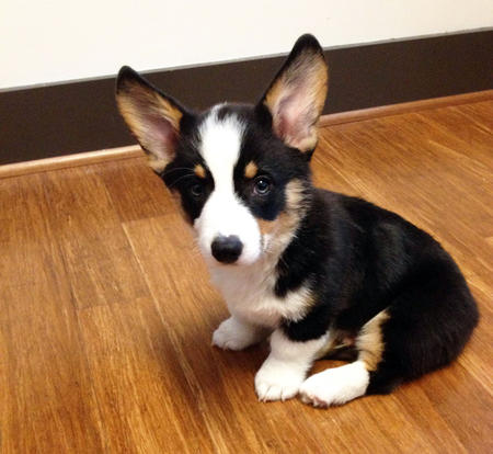 Benedict the Pembroke Welsh Corgi Pictures 969305