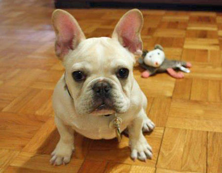 Benjamin the French Bulldog Pictures 858743