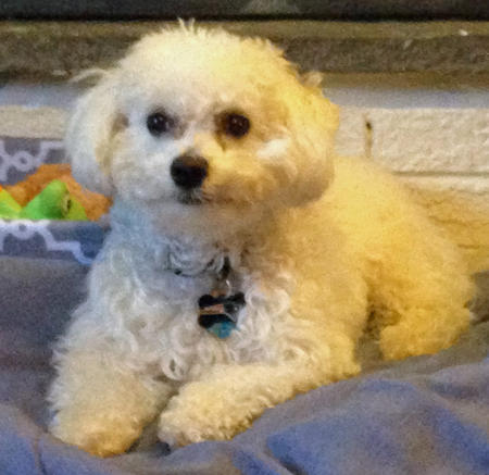 Benji the Bichon Frise Pictures 542367