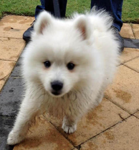 Benji the Japanese Spitz Pictures 980692
