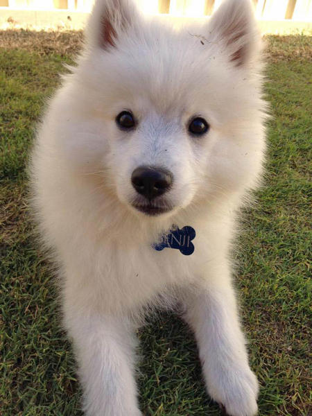 Benji the Japanese Spitz Pictures 980695