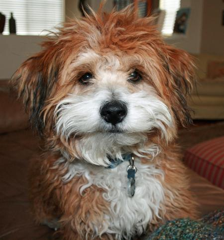 Benji the Poodle Mix Pictures 915768