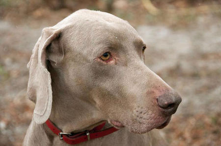 Benjii the Weimaraner Pictures 626976