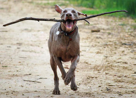 Benjii the Weimaraner Pictures 626980