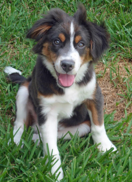 Benley the Australian Shepherd Mix Pictures 905942