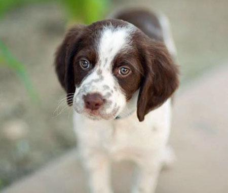 Bennett the Brittany Pictures 875072