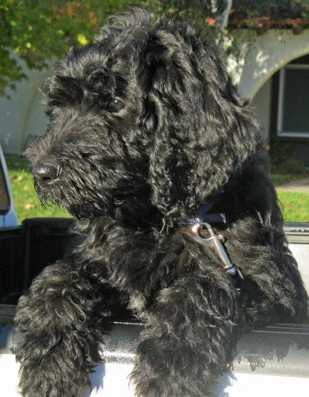 Benni the Labradoodle Pictures 1048447