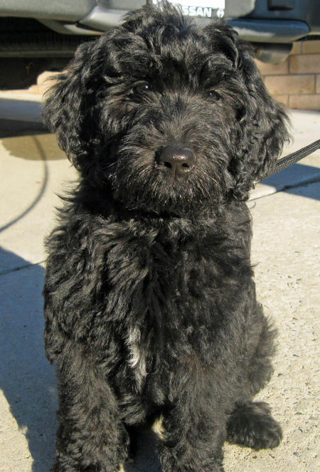 Benni the Labradoodle Pictures 1048448