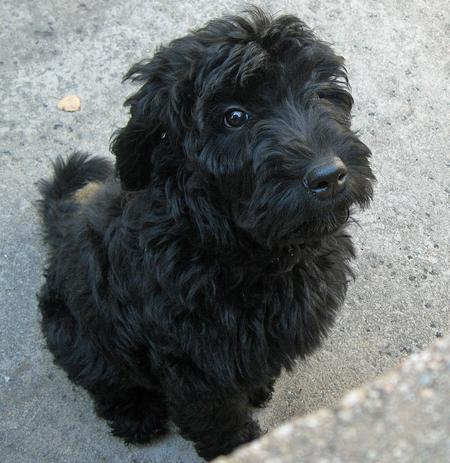 Benni the Labradoodle Pictures 1048449