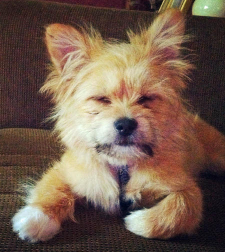 Benny the Shih Tzu Mix Pictures 977261