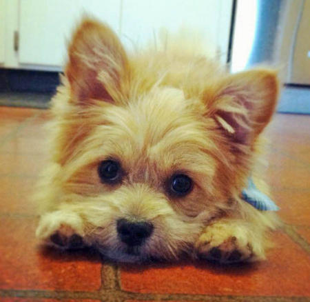 Benny the Shih Tzu Mix Pictures 977260