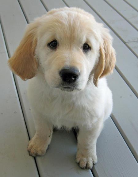 Benson the Golden Retriever Pictures 549529