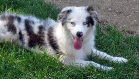 Bentley the Australian Shepherd Pictures 471719