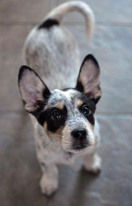 Bentley the Blue Heeler Mix | Puppies | Daily Puppy