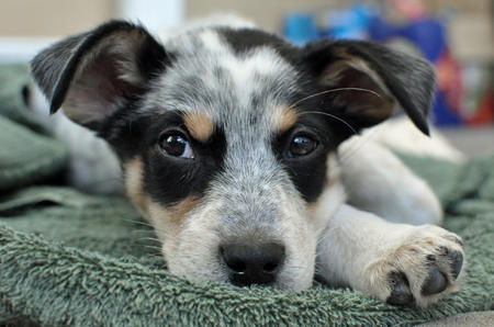 Blue Heeler Dog Mix