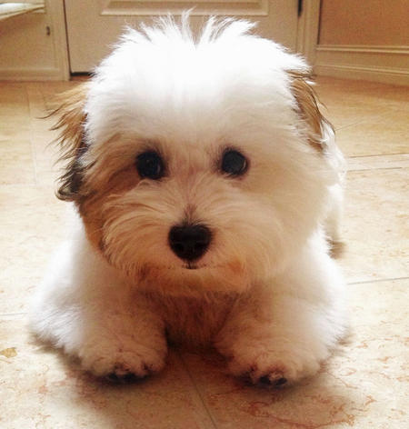 Bentley the Coton de Tulear Pictures 1016274