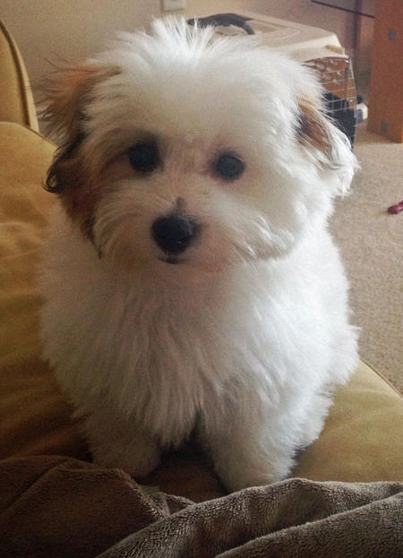 Bentley the Coton de Tulear Pictures 1016275