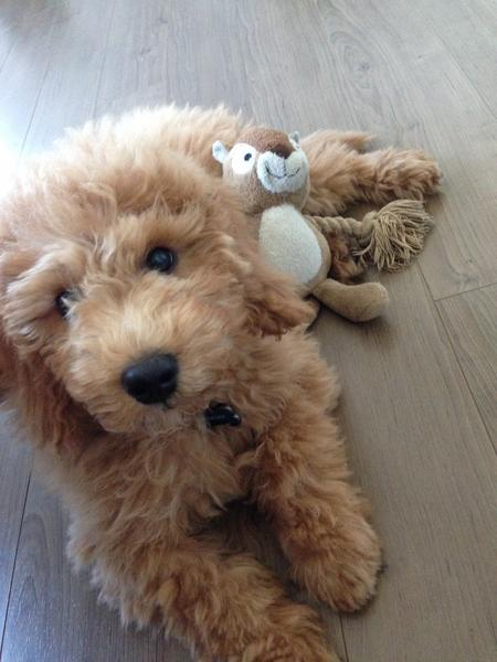 Bentley the Goldendoodle Pictures 1020970