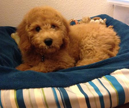 Bentley the Goldendoodle Pictures 1020973