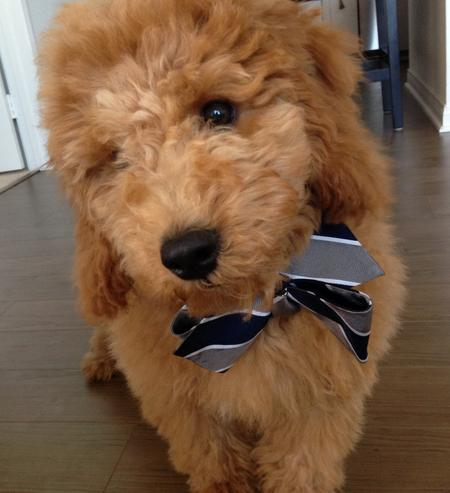 Bentley the Goldendoodle Pictures 1020974
