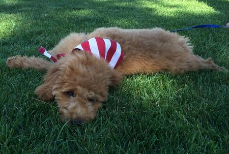 Bentley the Goldendoodle Pictures 851671