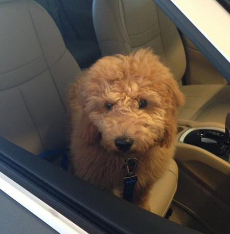 Bentley the Goldendoodle Pictures 529493