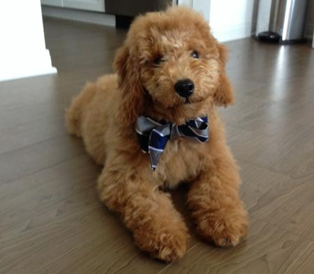 Bentley the Goldendoodle Pictures 1020967