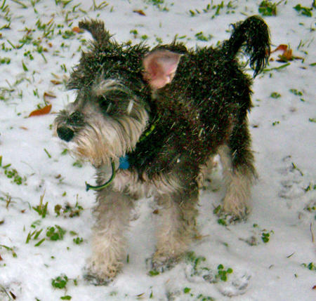 Bentley the Miniature Schnauzer Pictures 710977