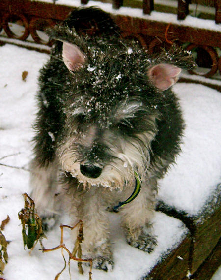 Bentley the Miniature Schnauzer Pictures 710980