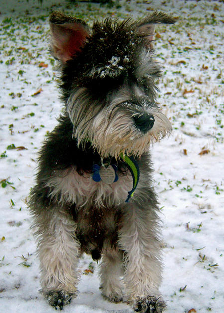 Bentley the Miniature Schnauzer Pictures 710976