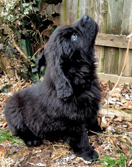 Beorn the Newfoundland Pictures 958352