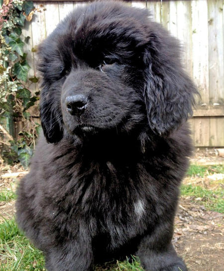 Beorn the Newfoundland Pictures 958354