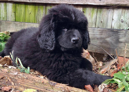 Beorn the Newfoundland Pictures 958356