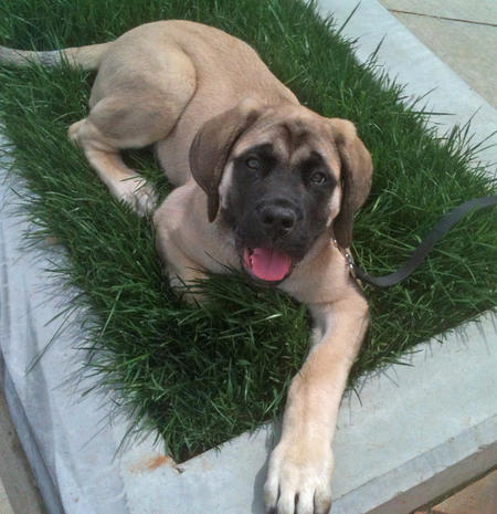 Bernard the Mastiff Pictures 965173